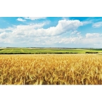 Kitchen Splashback 2440x610mm Picture: Field Of Gold
